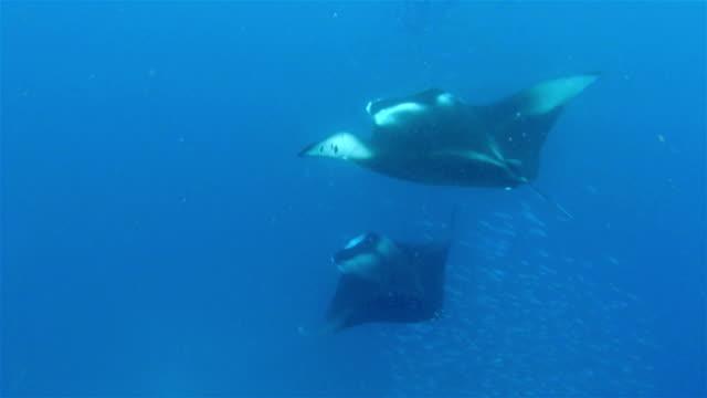 Foraging Manta Ray feeding plankton on Maldives