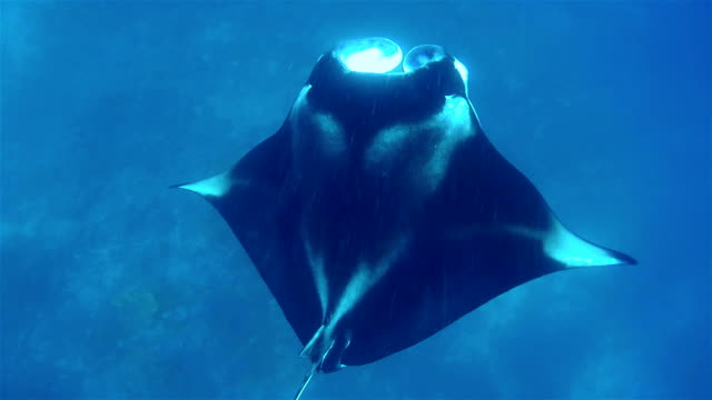 stockvideo's en b-roll-footage met foraging manta ray ram feeding on maldives - dierlijk gedrag