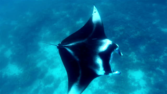 foraging manta ray ram feeding on south ari atoll - foraging stock videos and b-roll footage