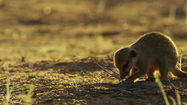 ms foraging meerkat backlit in evening light - foraging stock videos & royalty-free footage
