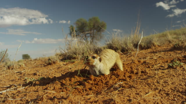 ms foraging meerkat with sand on its face - foraging stock videos & royalty-free footage