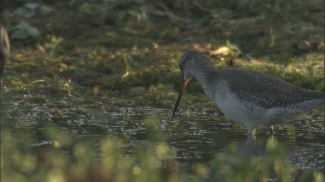 foraging redshank is scared away by sacred ibis, bateshwar available in hd. - hierarchy stock videos & royalty-free footage