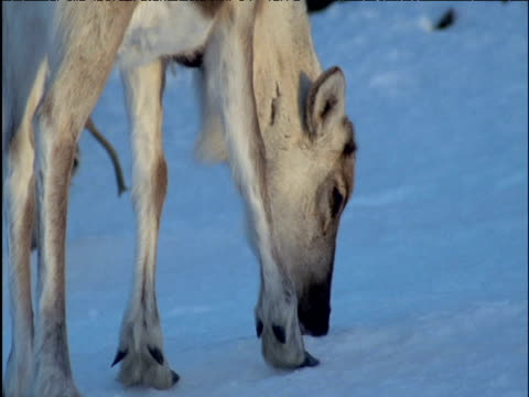 foraging reindeer licks at snow - foraging stock videos and b-roll footage