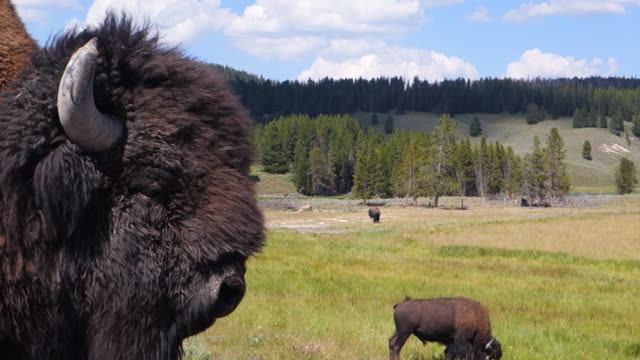 foreground closeup of buffalo's side of head in yellowstone national park, wy - yellowstone nationalpark stock-videos und b-roll-filmmaterial