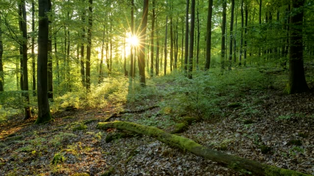 forest at sunrise in spring, spessart, bavaria, germany - tree trunk stock videos & royalty-free footage