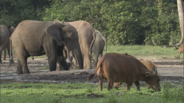 Forest buffaloes (Syncerus caffer nanus) and elephants in clearing, Central African Republic