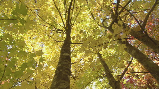 forest canopy with autumn color - directly below stock videos & royalty-free footage