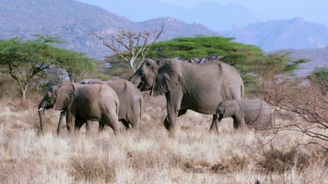 forest elephants walking samburu  kenya  africa - elephant stock videos & royalty-free footage