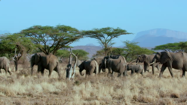 Forest Elephants Walking Samburu  Kenya  Africa