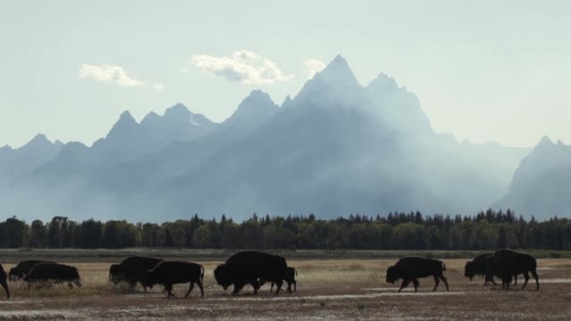 forest fire smoking silhouetted bison herd grand tetons national park wyoming - parco nazionale del grand teton video stock e b–roll