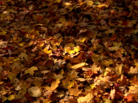 CU, ZI, Forest floor covered with autumn maple leaves, Rye Town, New York, USA