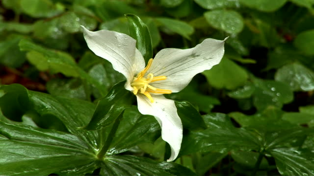 forest floor - trillium stock videos & royalty-free footage