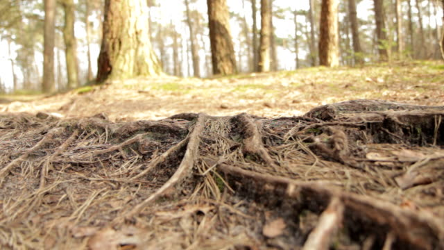 forest floor with roots (glide) - twig stock videos & royalty-free footage
