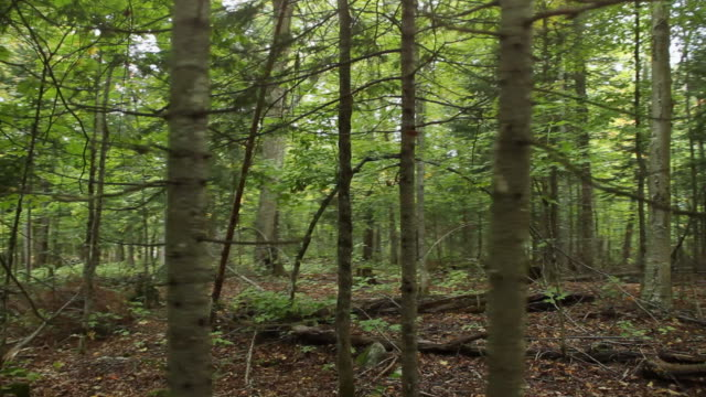林 flythrough - 針状葉点の映像素材/bロール