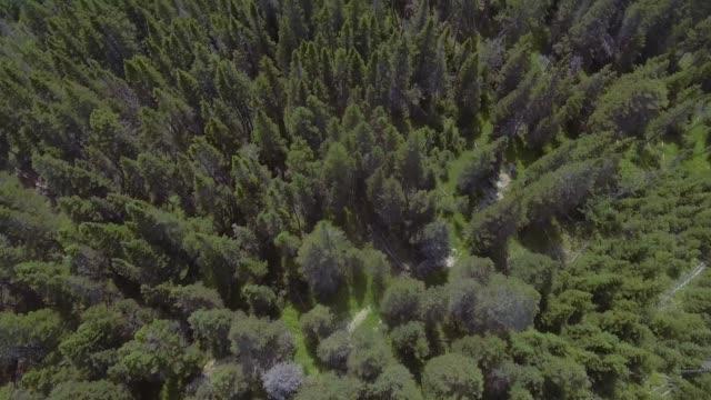 forest full of tall green pines trees - ago parte della pianta video stock e b–roll