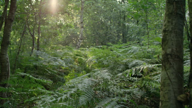 Forest glade with ferns