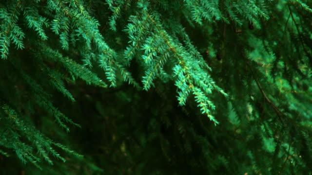 Forest grün Kiefern