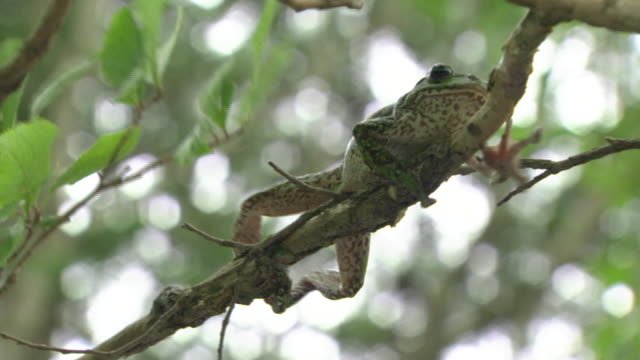 A Forest Green Tree Frog Crawling On A Branch