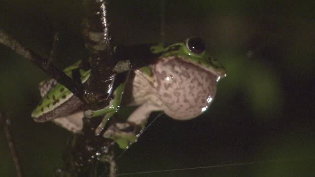 stockvideo's en b-roll-footage met a forest green tree frog croaking - lawaai