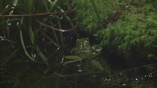 A Forest Green Tree Frog Entering Into A Pond