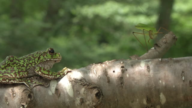 A Forest Green Tree Frog Pouncing On Its Prey