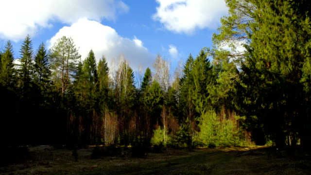 forest in early spring - coniferous stock videos & royalty-free footage