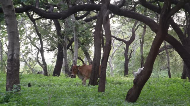 forest in morning, india. - cow stock videos & royalty-free footage