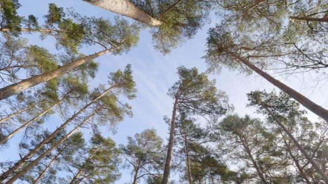 vidéos et rushes de forêt au printemps - pinacée
