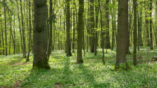 Forest in spring with wood anemone (Anemone nemorosa) on ground. Bavaria, Germany.
