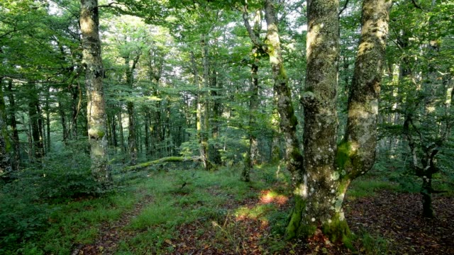 forest in the morning, la bresse, vosges, france - lorraine stock videos & royalty-free footage
