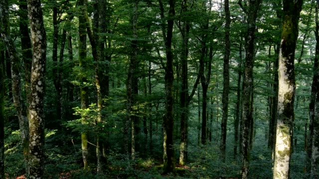 forest in the morning, la bresse, vosges, france - beech tree stock videos and b-roll footage