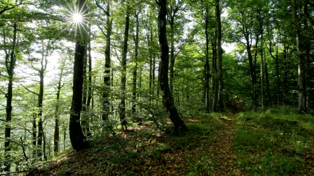 forest in the morning with sun, la bresse, vosges, france - beech tree stock videos and b-roll footage