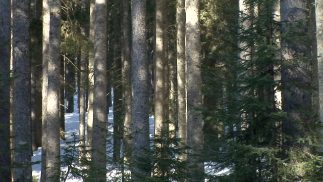 hd: forest in the winter - spruce stock videos & royalty-free footage