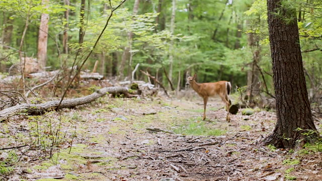 forest - north east usa - forest with a white-tailed deer - white tailed deer stock videos & royalty-free footage
