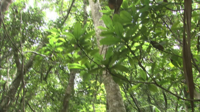 a forest of pandanus boninensis trees grows on chichi-jima island. - subtropical climate stock videos and b-roll footage