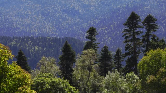 forest of western caucasus - fir tree stock videos and b-roll footage