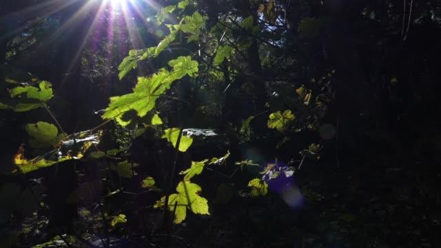 西コーカサスの森 - 枝点の映像素材/bロール