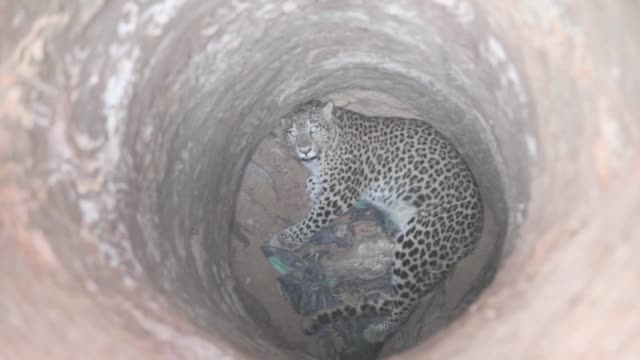 Forest officials transfer a leopard to a zoo after rescuing it from a well in India's northeastern state of Assam