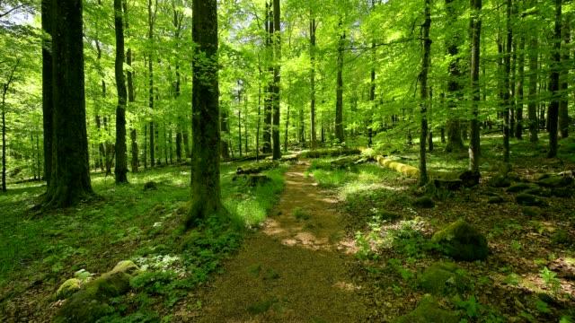 vídeos de stock, filmes e b-roll de forest path in spring, schafstein, gersfeld, rhön, hesse, germany - faia árvore de folha caduca