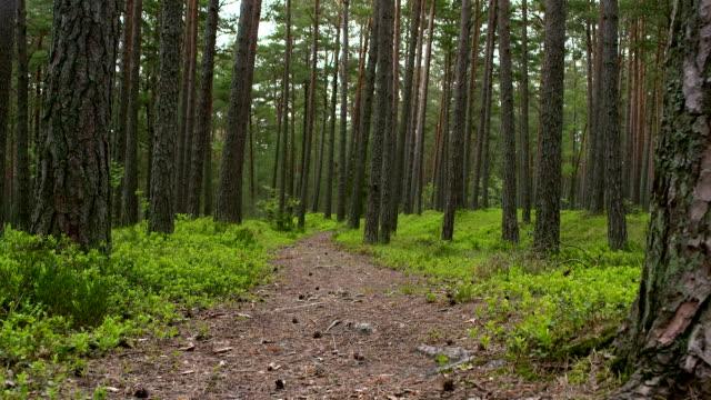 stockvideo's en b-roll-footage met forest path - naaldboom