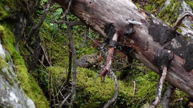vídeos y material grabado en eventos de stock de pika de bosque - oreja animal