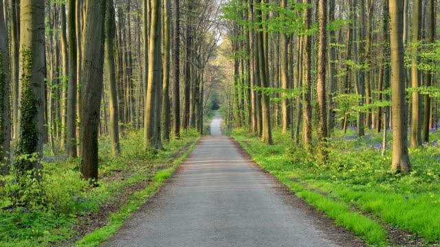 Forest road in the spring, Hallerbos, Halle, Vlaams Gewest, Brussels, Belgium, Europe