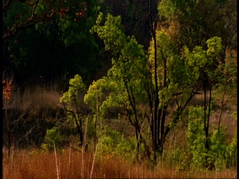 wa forest scenic, bandhavgarh national park, india - national icon stock videos & royalty-free footage