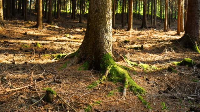 vídeos y material grabado en eventos de stock de bosque time lapse (4k - pinaceae