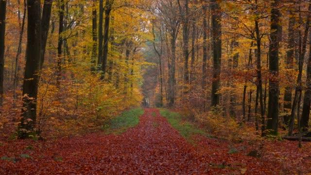 forest track in autumnal woodland, freudenburg, rhineland-palatinate, germany, europe - von bäumen gesäumt stock-videos und b-roll-filmmaterial