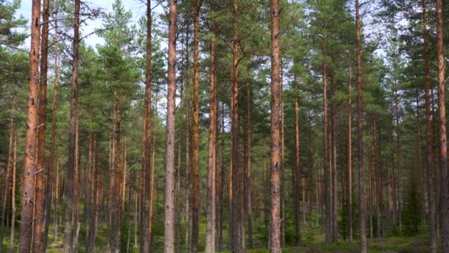 skogen - tallträd bildbanksvideor och videomaterial från bakom kulisserna