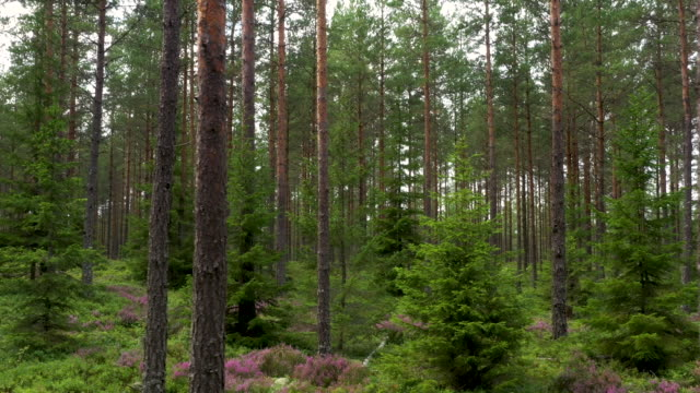 forest - pine tree stock videos & royalty-free footage