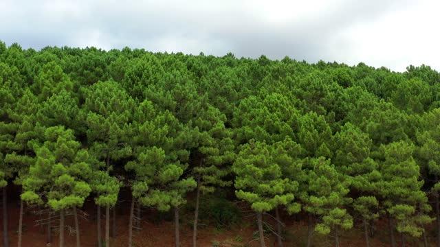 vidéos et rushes de forêt - pin