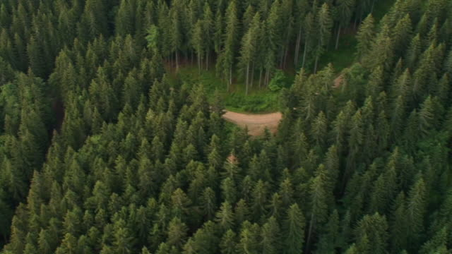 hd: forest - spruce stock videos & royalty-free footage