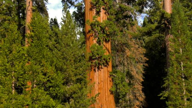 vídeos de stock, filmes e b-roll de floresta - sequoia sempervirens